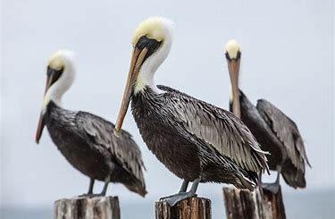 Carolina Pelicans